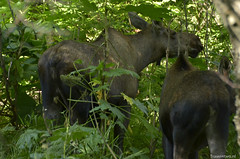 20150806_Lady mooses (Travel4Two) Tags: alaska anchorage c0 s0 verenigdestaten 5000k adl3