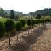10 Topiary ball arborvitae