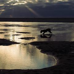 Go get it! (Frank Busch) Tags: ocean dog reflection beach netherlands clouds evening denhaag pools bluehour eveninglight searching rayoflight frankbusch wwwfrankbuschname photobyfrankbusch frankbuschphotography imagebyfrankbusch wwwfrankbuschphoto