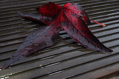 wet leaf (matti451) Tags: autumn red wet leaf bloodred