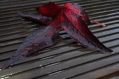wet leaf (matti451) Tags: autumn red wet leaf bloodred