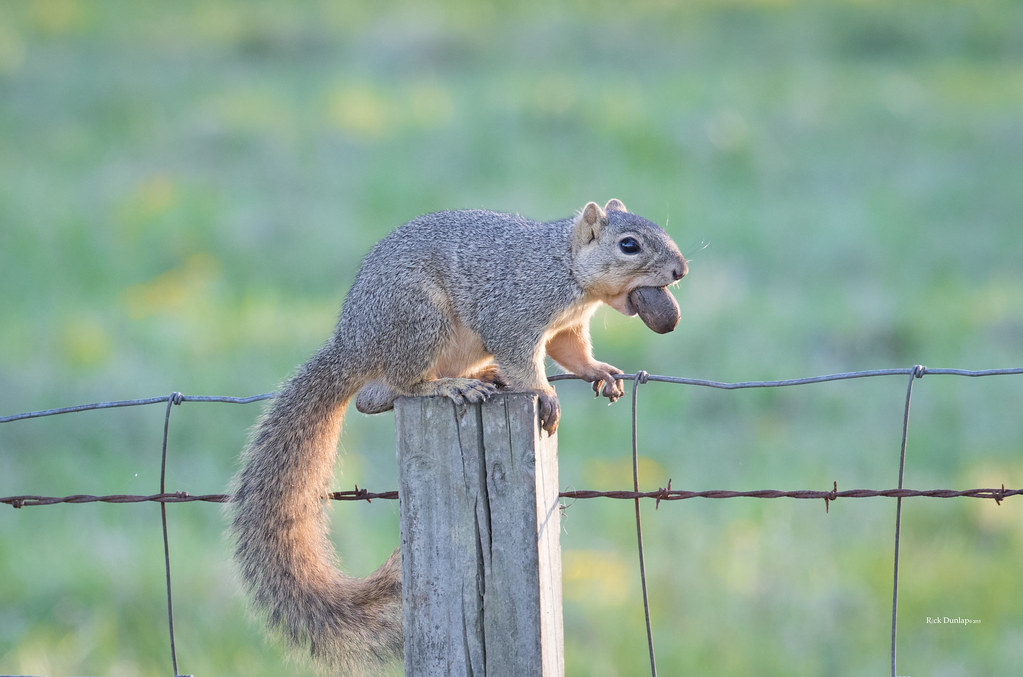 Secret Squirrel Protect Your Nuts Patch: The World's Best Photos Of Pecan And Squirrel