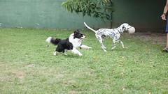 DSC02784 (agorayebm) Tags: dog bordercollie dalmatian crick dlmata