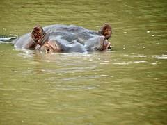 Common hippopotamus (Hippopotamus amphibius) (Linda DV) Tags: lindadevolder africa travel 2015 geotagged geomapped southernafrica southafrica kwazulunatal picmonkey stlucia isimangalisowetlandpark lakestluciaestuary hippopotamus hippopotamusamphibius hippo artiodactyla