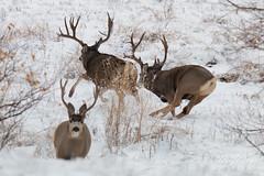 One Mule Deer buck vanquishes another
