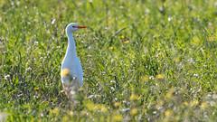 Kuhreiher (Cattle Egret) im Schlichtkleid (oliver_hb) Tags: mallorca vogel pollenca reiher kuhreiher