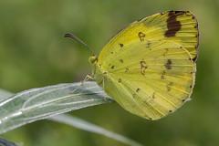 IMG_5390-Edit_FB_2048 (Photography By Mallik) Tags: india macro nature closeup canon butterfly bangalore 90mm tse mallik 60d macrodreams
