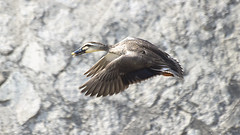 Spot Billed Duck in Flight (Johnnie Shene Photography(Thanks, 1Million+ Views)) Tags: wild people colour macro bird nature animal horizontal canon lens photography eos rebel fly flying duck still wings focus scenery kiss view natural image zoom outdoor teal no wildlife air side watching birding flight duckling scenic sigma tranquility scene spot apo full theme modified midair mallard limbs flapping 70300mm length viewpoint flap tranquil adjustment freshness dg  stationary foreground 456 t3i x5 70300 behaviour billed  fragility 600d f456  behavioural