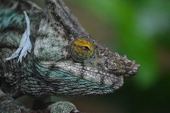 Parson's chameleon (James L Taylor) Tags: