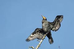 grand cormoran ( Phalacrocorax carbo ) Villeneuve d'Asq 151112e2 (pap alain) Tags: france nordpasdecalais nord oiseaux grandcormoran greatcormorant phalacrocoraxcarbo villeneuvedasq palmipdes phalacrocoracids