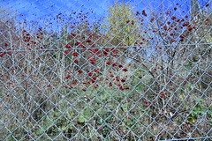 Christophe Estermann_102 (DONATURA) Tags: fruits fruit fence berries grillage baies