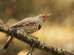 In the Rain (Angie Vogel Nature Photography) Tags: bird nature rain flicker northernflicker backyardbirding