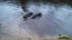 Post-exercise cool-down.. (Michael C. Hall) Tags: dogs swim river video labrador play chocolate twin enjoy wading