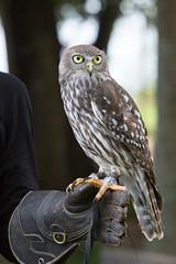 Barking Owl (Peter Pecksen) Tags: birds au australia brisbane queensland barkingowl lonepinekoalasanctuary figtreepocket