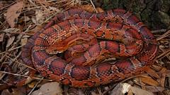 Corn Snake (Pantherophis guttatus) (Ian Deery) Tags: ian deery herp herping sony a55 sigma 1020 wideangle corn snake pantherophis guttatus elaphe redrat