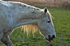 _DSC5579_v1 (Pascal Rey Photographies) Tags: chevaux horses caballos pferden chevauxcamarguais camarguais arles camargue bouchesdurhône sud delta