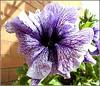 Petunia Flower... (** Janets Photos **) Tags: uk plants flora flowers closeups colours petunia