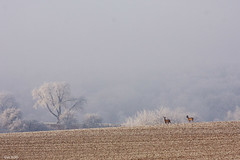 what made me happy today (leaving-the-moon) Tags: landschaft landscape deutschland germany kraichgau baden raureif whitefrost weiss animals rehe winter season mysweethome