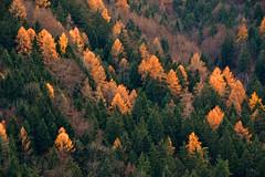 Larches (echumachenco) Tags: larch tree plant forest green yellow autumn fall november thumsee karlstein badreichenhall berchtesgadenerland berchtesgadeneralpen bavaria bayern germany deutschland nikond3100 outdoor foliage serene