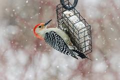 Male Red-bellied Woodpecker on suet feeder (hickamorehackamore) Tags: ct connecticut haddam melanerpescarolinus nwf redbelliedwoodpecker backyard certified habitat male suet suetfeeder wildlife woodpecker