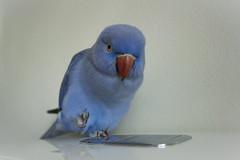 L'Oiseau bleu 💙 (S♡C) Tags: bird parrot indianringneckparrot blue loiseaubleu