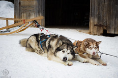 Dog sledding at Chenil du Sportif - Québec (baroudeuses_voyage) Tags: dog sledding dogsledding quebec canada chenildusportif leséboulements charlevoix husky malamute alaskan