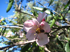 The flower & the bee (Lolo & Olé! (Inma)) Tags: flower flores almendros floresdealmendro almondtreeflower fleur bloom bee abeja blooming blossoms