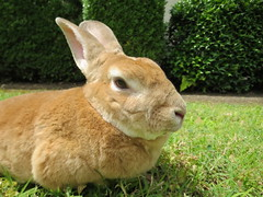 www.facebook.com/scooterintexas (tammybeck) Tags: lapin scooter rabbit bunny rex rescuedpets conejo coniglio wwwrescuedrabbitsorg specialneedspets konijn królik kaninchen