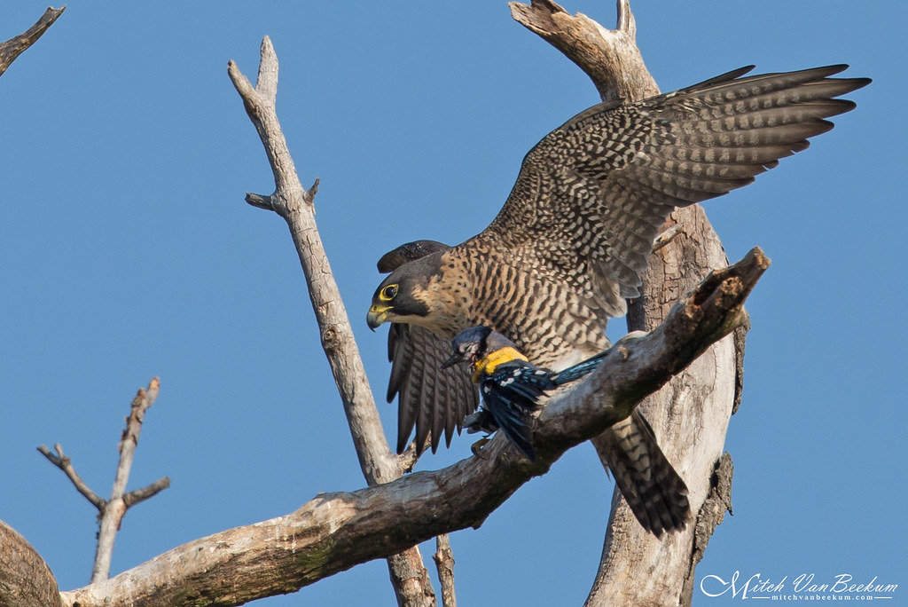 Play Time (Peregrine Falcon / Blue Jay)