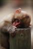 Off with his head! (iorus and bela) Tags: snowmonkeys japan monkey monkeys japanesemonkey yudanaka iorus bela september summer zomervakantie snowmonkeysinthesummer asia travel macaque japanesemacaque wild wildlife