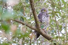 Barking Owl (petefeats) Tags: australia barkingowl birds goldcoast nature ninoxconnivens queensland strigiformes strigidae