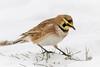Horned Lark foraging (tresed47) Tags: 2017 201701jan 20170110bombayhookbirds birds bombayhook canon7d content delaware folder hornedlark lark peterscamera petersphotos places takenby us