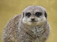 """"""" Meerkat """" (seanwalsh4) Tags: cute beautiful nice happy sean walsh bristol flickr loveable nature meerkat 7dwf sundayfauna noahsarkwildlifepark"""