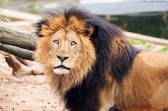 KingOfTheForest (hillels) Tags: nationalzoo fonz washington dc zoo animal wild nature