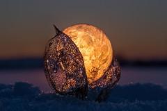 Lampinion (SonjaS.) Tags: bubble lampinion makro seifenblase gefroren frozen winter schnee snow gefroreneseifenblase frozenbubble canon6d physalis corors faben licht sonnenuntergang sunset sonne sun