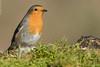 Rougegorge familier Erithacus rubecula - European Robin (Julien Ruiz) Tags: rougegorge familier erithacus rubecula european robin