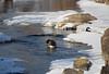 Canada Geese (Phil Spell) Tags: canon outdoor nature wildlife bird geese canadagoose maryland river snow winter potomacriver greatfalls nationalpark usa unitedstates waterfowl northamerica montgomerycounty brantacanadensis cocanal nationalcapitalregion