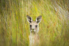 Roo in the grass (Rod Burgess) Tags: nsw southdurras kangaroo grass canon60d canon100400f4556lisii morning murramarangnationalpark