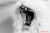 Djinn waking up (Thoran Pictures, Thx for more then 4 million views) Tags: madebythoranpictures k1 pentax pentaxk1 smcpentaxf50mm114 pet white cat animal wil blanco pussycat wit huisdier