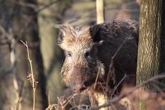 Wild zwijn, Veluwezoom (robreintjes) Tags: dieren zoogdieren wildlife panoramio54853417561711