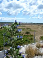 (helena.e) Tags: helenae öland slott slottsruin borgholm flower blomma blå blue