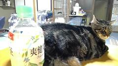 Tigger's Drink of Choice (sjrankin) Tags: 11march2017 edited animal cat yubari hokkaido japan tigger food drink tea sokenbicha