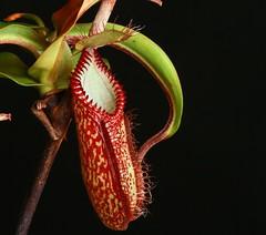 nepenthes hamata (venwu225) Tags: nepenthes pitcher plants life green soul fashion carnivorous captive