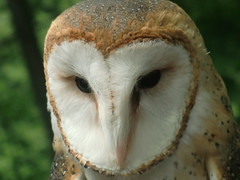 Cosmo (The Strigiform) Tags: owl owls barn nature tyto alba raptor