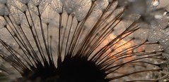 Sunset (d_salter) Tags: sunset dandelion macro