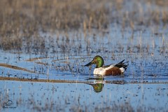 Northern Shoveler Male (Glatz Nature Photography) Tags: anasclypeata bosque bosquedelapachenationalwildliferefuge duck glatznaturephotography male morninglight nature newmexico nikond500 northamerica northernshoveler wildanimal wildlife