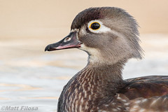Wood Duck Hen Portrait (Matt F.) Tags: bird duck woodduck canon500mmf4isii canon7dmarkii