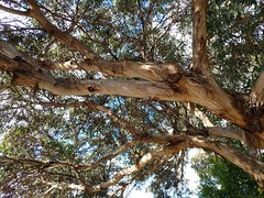 More #Bark for Challenge Friday #CF17.  This tree branch was lending some shade to my walk. I love how gum trees shed their bark. #tree #southaustralia #reynella