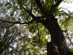 Madagiriveemp (Malayalam: മദഗിരിവേമ്പ്) (dinesh_valke) Tags: meliaceae meliafamily mahagonyfamily deciduous tree toonaciliata cedrelatoona cedrelaaustralis cedrelavelutina toonaaustralis toonamicrocarpa toonaternatensis australianredcedar australischesmahagoni australischeszeder ayil bastardcedar belamdi burmacedar cèdrerouge cèdrerougedaustralie cedroaustraliano chandanaveemp chittisarinh chittisirinh chuvannaakil dalli danupra daral dori drab drawi hongchun indiancedar indianmahogany kacchaka kacchapah kukoru madagiriveemp mahalimbo maiyomhorm malapoga malayapputtunnamaram matakarivempu moulmeincedar nandi nandik nandikah nandivrikshamu nandurki pama patukarana ranggoh redcedar surenkapar surenmal surianlimpaga tairel taungtama tawthamgo teipui thitkador toon toonboom tun tunamaram tunee tuni tunna yomhom