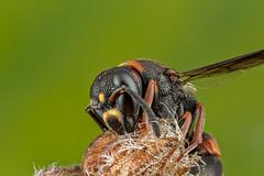 Snoozy (affectatio) Tags: macro mpe65 bug insect wasp potterwasp sleepingwasp sleeping eumeninae 6d canon6d focusstack zerene